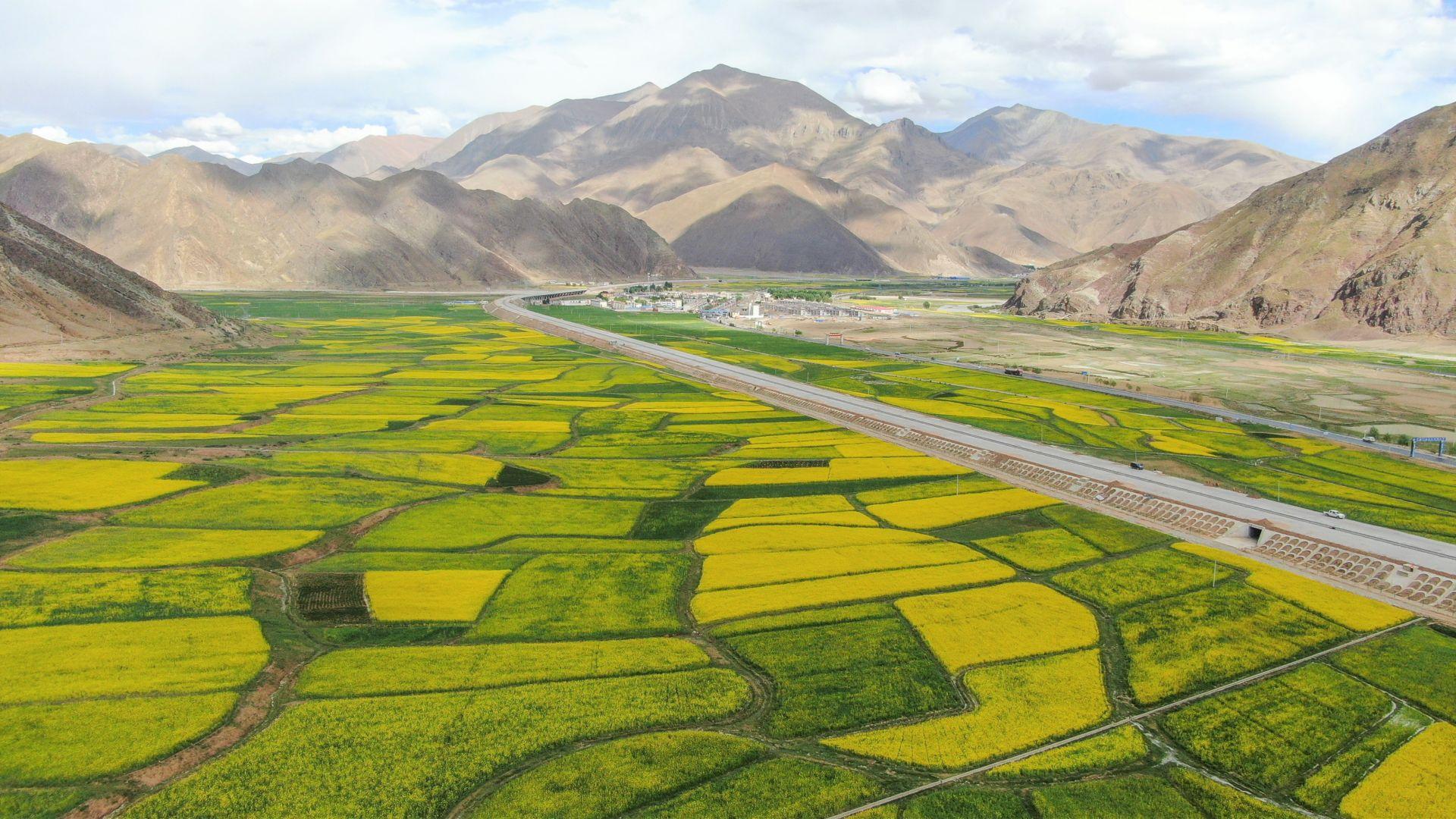 西藏:油菜花開似金毯