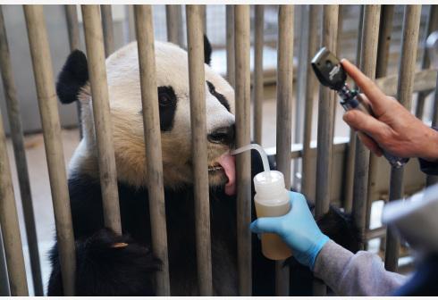 """旅美大熊貓""""貝貝""""接受回國前最后一次體檢"""