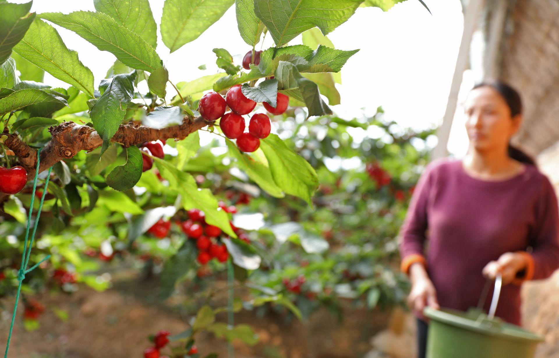 辽宁大连:樱桃生产忙