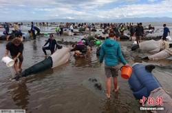 新西兰鲸鱼回家了:逾600头搁浅 半数已脱险(组图)