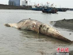上海殒命鲸鱼今起将被制作成标本 预计耗时两年半