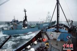 """南极""""科研捕鲸""""归来 日本船队捕获333头小须鲸"""