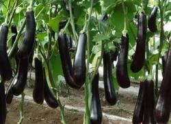 大丰区白驹镇 请来上海蔬菜专家考察