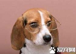 維茲拉犬哪有賣 維茲拉犬多少錢一只