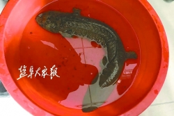 村民河里捕到一只四脚怪鱼,经林业部门鉴定,原来是……