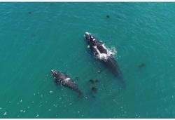 痛心!145条鲸鱼在新西兰南部岛屿搁浅死亡
