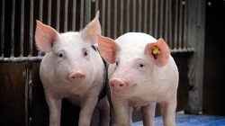 农业农村部:四川省夹江县发生非洲猪瘟疫情