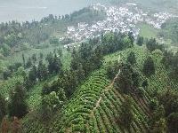綠水青山茶飄香