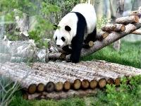 高原西寧首家熊貓館對外開放