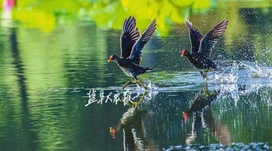 拍客 鸟儿凌空飞 荷塘起涟漪