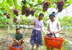 【乡村振兴】村里的葡萄熟了