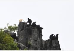 廣西再次發現白化黑葉猴