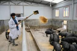 五问非洲猪瘟,你所关切的答案都在这里