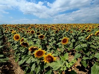 乌克兰:葵花盛放