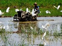田园画卷 人鸟共处