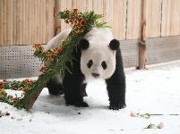 """大熊猫思嘉的""""生日派对"""""""