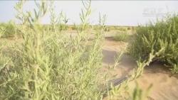 他说:我要在沙漠里种10万亩四翅滨藜!