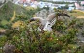 西藏:不怕人的岩羊