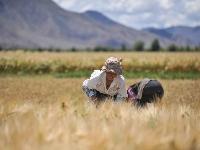 西藏粮仓 大地铺金