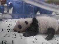 旅比大熊猫幼仔满月