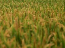 """稻田下面有""""乾坤"""",一亩可产3000斤,增收顶呱呱!"""