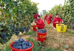 河北昌黎:收獲釀酒葡萄