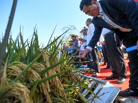 1046.3公斤!袁隆平第三代雜交水稻首次公開測產