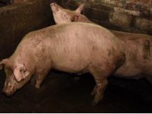 到2022年全省豬肉自給率達到70%以上!江蘇出臺意見穩定生豬生產