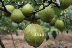 聚焦盐都畅销农产品品牌系列报道之三丨龙冈茌梨:生态氧吧上的地理标志产品