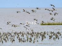 东台条子泥:滩涂奇景惹人醉 鸟儿栖息自由飞