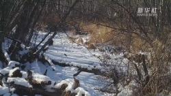 """來圍觀 貂熊在雪地中""""溜達""""""""撒歡"""""""
