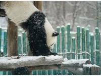 """大熊貓享受""""雪季"""""""