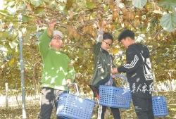 【小记者活动】90多个小记者家庭田间采摘猕猴桃 体验丰收喜悦 享受农事乐趣