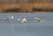 河北怀来:初冬湿地天鹅舞