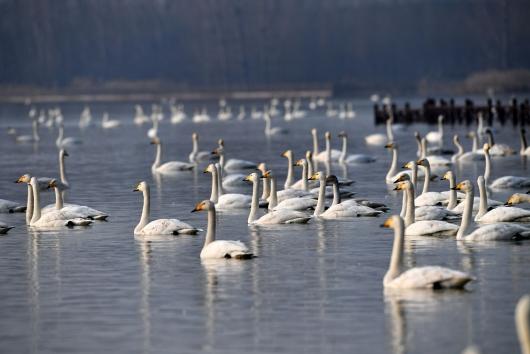 """白天鹅""""约会""""黄河湿地"""