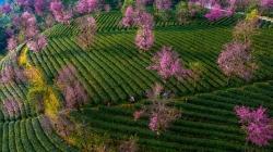 茶园泛绿 樱花似霞