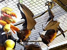 """西班牙媒體盤點蝙蝠的五個秘密:堪稱""""天然病毒庫"""""""
