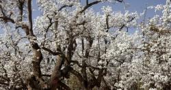 草庙镇千亩梨园树立特色农业新标杆