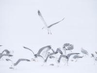 風雪中守護候鳥遷徙