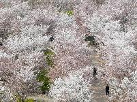 黄河岸边樱花绽