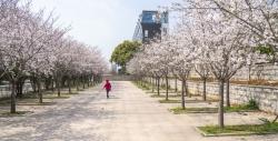 武汉:樱花绽放春意浓