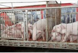 """江苏两部门联手打击""""炒猪""""行为,保障生猪养殖业安全"""