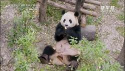 """大熊猫""""毛桃""""手术后恢复良好"""