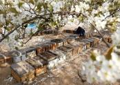 河北石家庄:花开蜂农致富忙