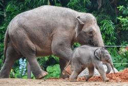 廣州:亞洲象家族再添新丁