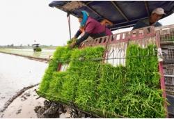 河北唐山:水稻插秧正當時