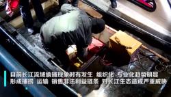 偷捕现象未绝!6000元一公斤的长江刀鱼是谁在偷捕?