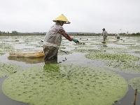 江苏淮安:芡实施肥促增产