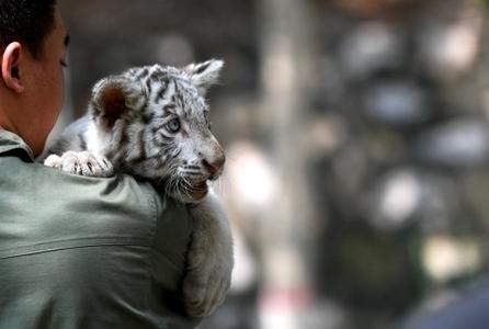 石家庄动物园的白虎宝宝