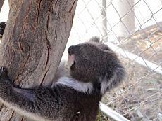 外媒:报告称澳大利亚东部考拉或将于2050年灭绝